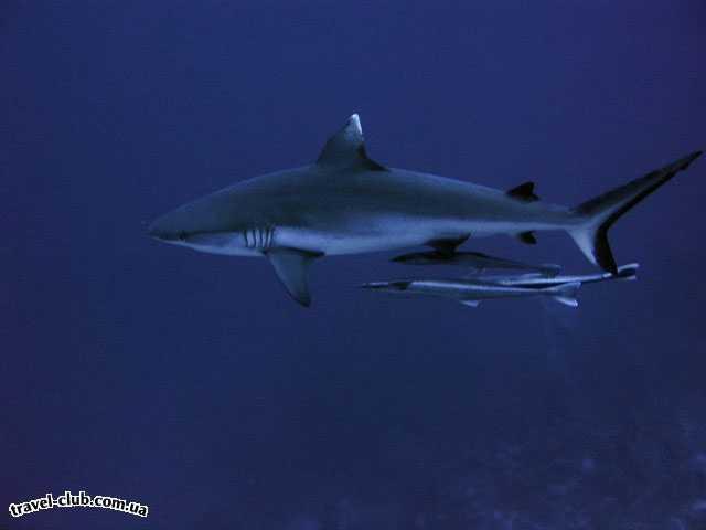 Египет  Красное море  серая рифовая акула