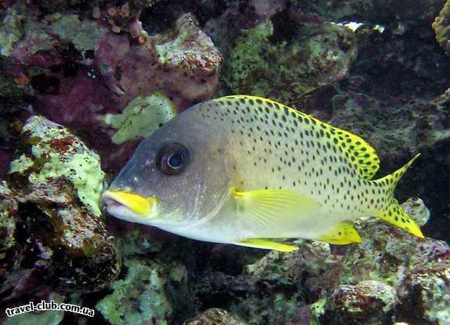 Египет  Красное море  Coral Beach Tiran  Ворчун чернокрапчатый