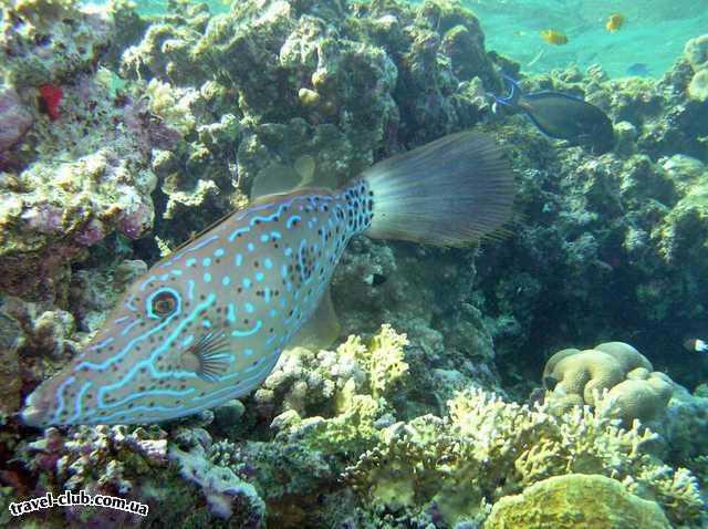 Египет  Красное море  Coral Beach Tiran  Неизвестный мне спинорог
