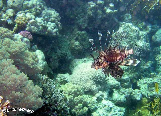 Египет  Красное море  Coral Beach Tiran  Крылатка-зебра