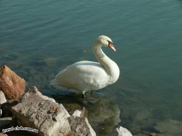 Венгрия  Будапешт  Rege  Балатонфюред. А вот и лебеди...