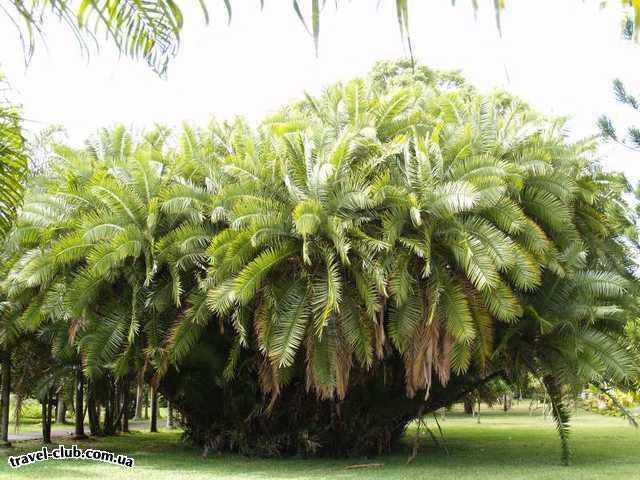 о. Маврикий  Памплемус (Pamplemousses) – великолепный ботанический сад бы